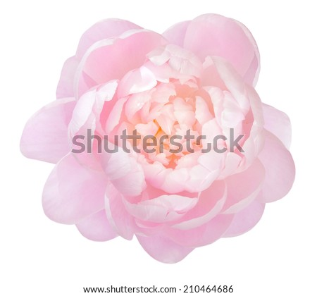 beautiful peony flower isolated on white background  - stock photo