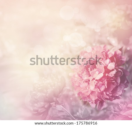 Beautiful peony flowers in sun blure and light rays with colored filters/spring or summer background - stock photo