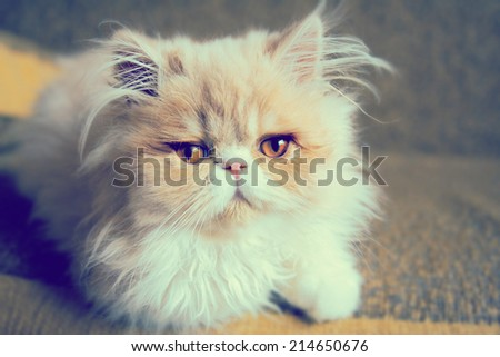 Beautiful persian cat .Photo toned style instagram filters