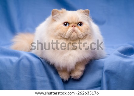Beautiful persian cream colorpoint cat whith blue eyes is lying frontal on a blue textile background - stock photo