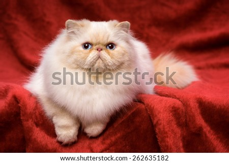 Beautiful persian cream colorpoint cat whith blue eyes is lying frontal on a red velvet background - stock photo