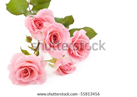 Beautiful petite pink roses on a white background, selective focus - stock photo