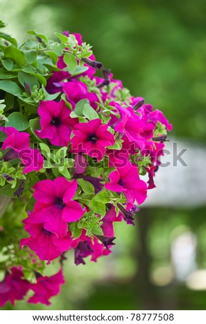 beautiful petunia flowers on a green background