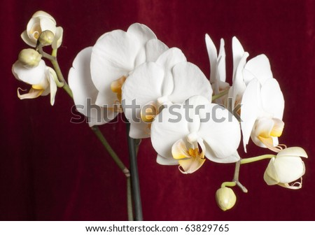 Beautiful phalaenopsis orchid against a red background - stock photo