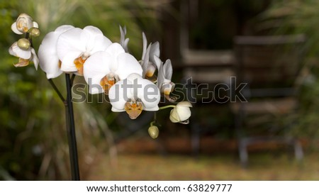 Beautiful phalaenopsis orchid found near a patio - stock photo