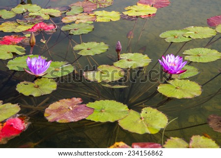 Beautiful photo of lilac lotus live in a city fountain. - stock photo