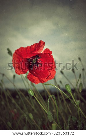 Beautiful photo of poppy in bloom in the wind and rain - stock photo
