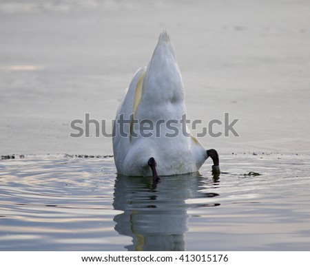 Beautiful picture with a funny mute swan swimming in the lake - stock photo