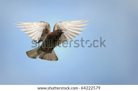 Beautiful pigeon flying, blue sky background - stock photo