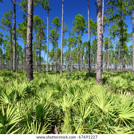 Beautiful pine flatwoods of central Florida on a sunny day - stock photo
