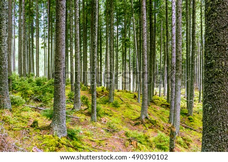 Beautiful pine forest.