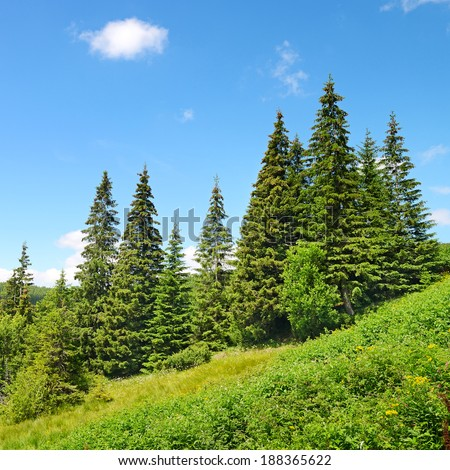 Beautiful pine trees in mountains.                                     - stock photo