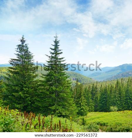 Beautiful pine trees on background high mountains. Carpathians     - stock photo