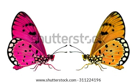 Beautiful Pink and Orange butterflies facing each other on the white background - stock photo