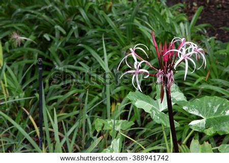 Beautiful pink and white lily flower surrounded by green leaves - stock photo