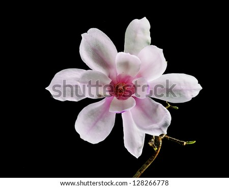 Beautiful Pink and White Magnolia Flower isolated on black