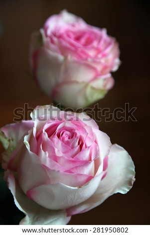 Beautiful pink and white roses on dark background - stock photo