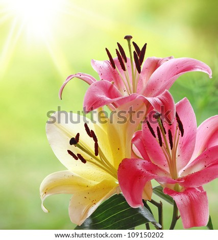 Beautiful Pink and Yellow Lilies in the Morning Sunshine - stock photo