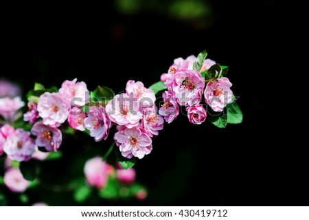 Beautiful pink apple blossom with bee Soft focus - stock photo