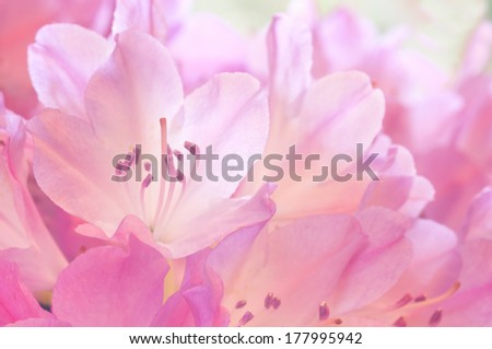 Beautiful Pink Azalea Flowers in a Bouquet, back lit with window light.  Horizontal closeup.  Native to Asia, Europe and North America - stock photo
