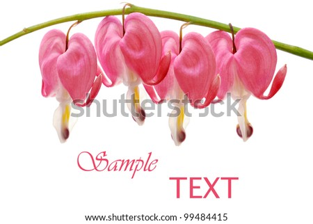 Beautiful pink bleeding heart blossoms on white background with copy space.