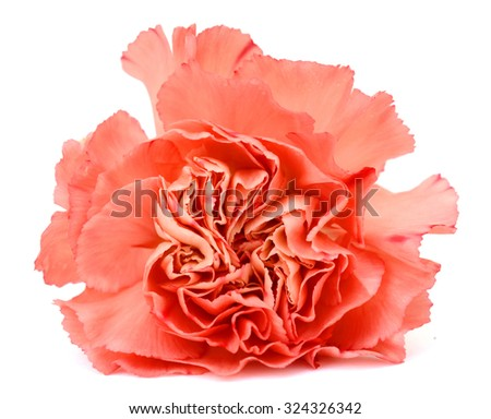 beautiful pink carnations flower isolated on white background - stock photo