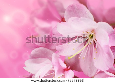 Beautiful Pink Cherry Blossom Flowers with a Springtime Bokeh