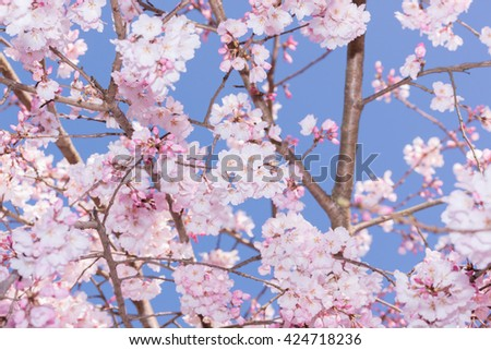 Beautiful pink cherry blossom in full bloom. japanese sakura. - stock photo