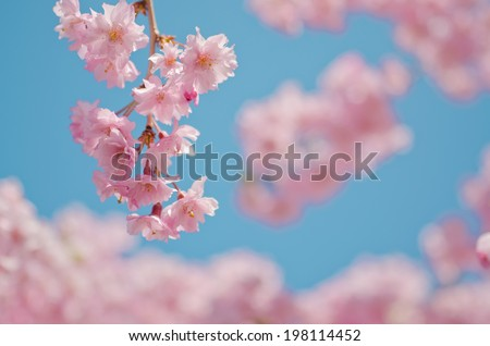 Beautiful pink cherry blossom in the blue sky - stock photo