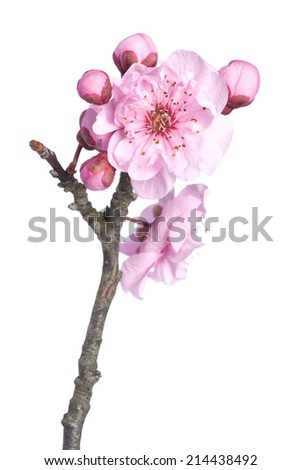 Beautiful pink cherry blossom isolated on a white background. - stock photo
