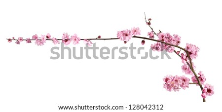 Beautiful pink cherry blossom on a white background. - stock photo