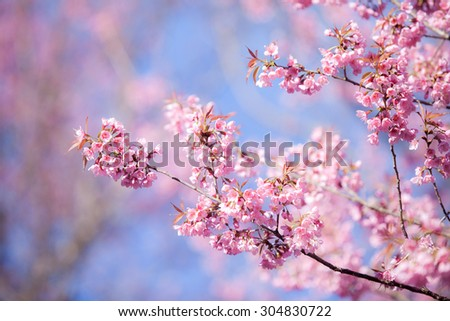 Beautiful pink cherry blossom (Sakura) flower at full bloom on blue sky. - stock photo