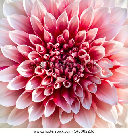 Beautiful pink chrysanthemum flower close-up - stock photo