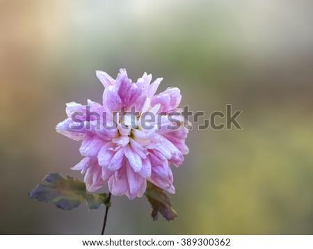 Beautiful pink chrysanthemum in the morning sunlight/Beautiful pink chrysanthemum in the morning sunlight/Beautiful pink chrysanthemum in the morning sunlight - stock photo