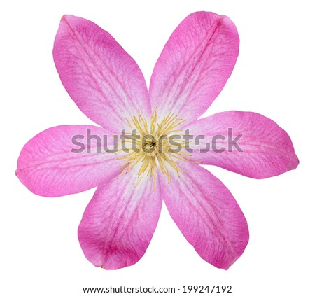 beautiful pink clematis isolated on white  - stock photo