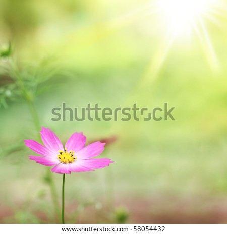 Beautiful pink Cosmos Flower on a sunny morning - stock photo