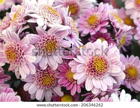 Beautiful pink daisy flowers  - stock photo