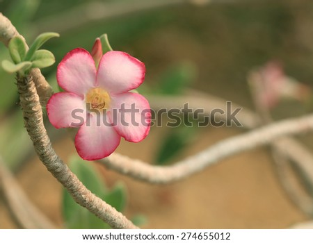 Beautiful  pink Desert Rose, Impala Lily,Mock Azalea flower on blur warm  background. - stock photo