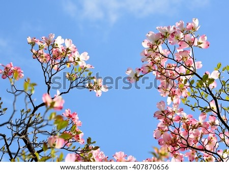 Beautiful pink Dogwood blossoms in blue sky  - stock photo
