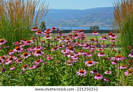 Beautiful pink echinacea garden with lake and mountains in background - stock photo