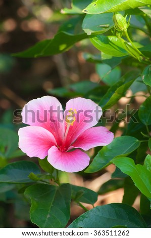 Beautiful pink flower in the garden. Cha-ba flower  - stock photo