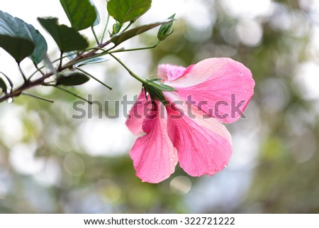 Beautiful pink flower in the Vinales Valley, Cuba - stock photo
