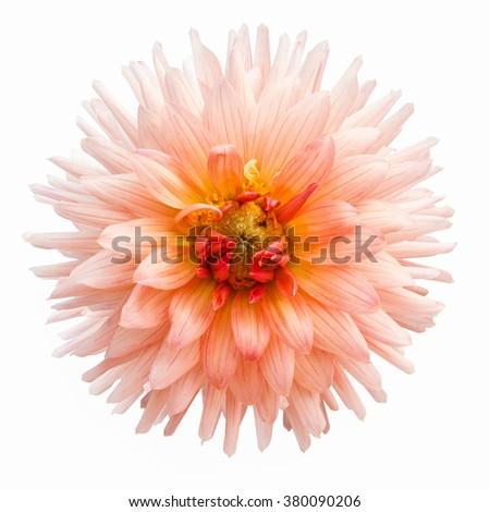 beautiful pink flower isolated on white background - stock photo