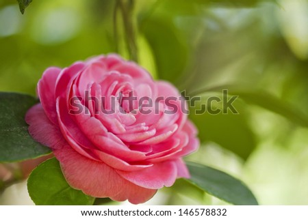 Beautiful pink flower of japanese camellia - stock photo