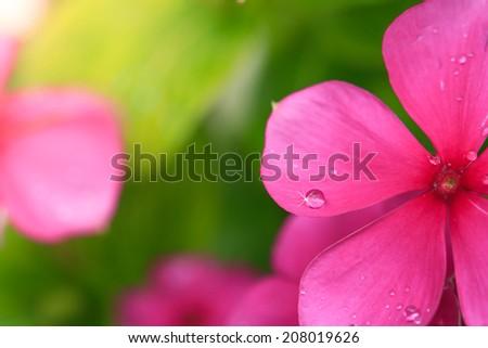 Beautiful pink flower petal with water drop - stock photo