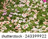 Beautiful pink flowers  (Catharanthus roseus) - stock photo