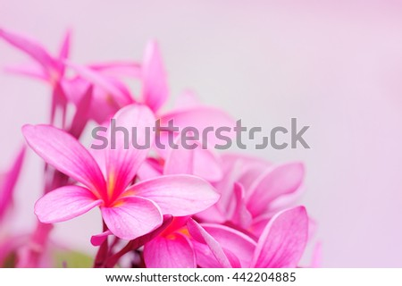 Beautiful pink flowers background pink plumeria stock photo royalty beautiful pink flowers background pink plumeria stock photo royalty free 442204885 shutterstock mightylinksfo