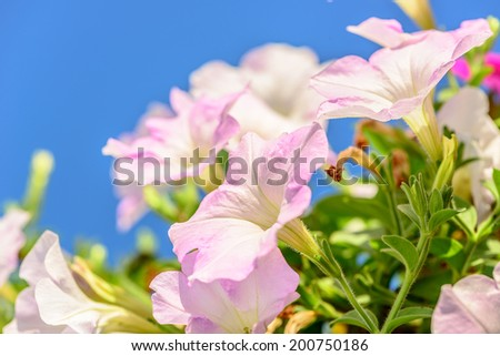 beautiful pink flowers in the garden blue sky background bell flowers on sunshine soft light leaf green in the morning,be fresh, be lively - stock photo
