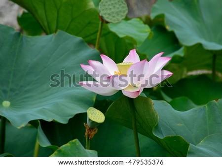 Beautiful Pink Flowers Ancient Lotus Japan Stock Photo 479535382 ...