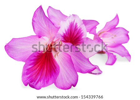 beautiful pink flowers of Butterfly tree on white.Shallow DOF - stock photo